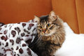 Cat in the morning in bed Royalty Free Stock Photos