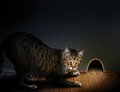 Cat and mouse a tabby crouches on a wooden floor looking into a large hole in a wall concept for a game Royalty Free Stock Photography