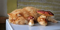 Cat and mushrooms red lying beside Stock Photo