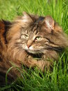Cat (Norwegian forest cat) in the grass, Royalty Free Stock Photos