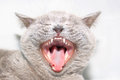 Cat with open mouth Stock Photos