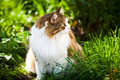 Cat outdoor in nature summer Stock Photography