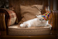 Cat in party hat cute wearing a relaxing on an armchair Royalty Free Stock Image