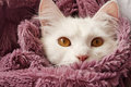 Cat peeking beautiful from under the blanket Stock Photos
