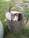 Cat Pet, Watering Can And Kitten