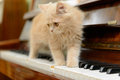 Cat and piano fluffy persian kitten walking on the Royalty Free Stock Images