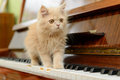 Cat and piano fluffy persian kitten walking on the Royalty Free Stock Photos