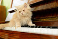 Cat and piano fluffy persian kitten walking on the Royalty Free Stock Photo