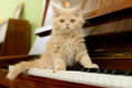 Cat and piano fluffy persian kitten walking on the Stock Photos
