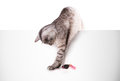 Cat plays with the mouse isolated on white background Stock Photos