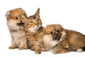 Cat and pomeranian puppies in studio Royalty Free Stock Photography