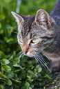 Cat portrait in the grass a serious looking european shorthair shot Royalty Free Stock Images