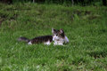 Cat portrait of a kitty outdoors lying in a grass Royalty Free Stock Images