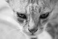 Cat portrait monochrome or black and white of a scary looking face Stock Images