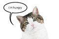 Cat portrait over white isolated background with thought balloon the text i m hungry inside Royalty Free Stock Images