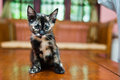 Cat pose on wooden table Royalty Free Stock Photo