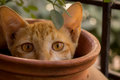 Cat in a pot hiding mudpot causght on cam like she is playing hide n seek Royalty Free Stock Image