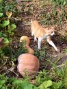 Cat and pumpkins Royalty Free Stock Photo