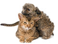 Cat and puppy in studio Royalty Free Stock Photo