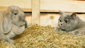 Cat and rabbit british shorthair lop on hayloft Stock Image