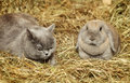 Cat and rabbit british shorthair lop on hayloft Stock Photos