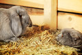 Cat and rabbit british shorthair lop on hayloft Royalty Free Stock Images