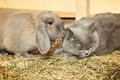Cat and rabbit british shorthair lop on hayloft Royalty Free Stock Photos