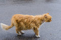 A cat with a red fur walking along the street