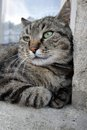 Cat relaxation grey portrait lying on edge of window Stock Photo