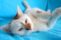 Cat relaxing and playing white playful on the couch Royalty Free Stock Photo