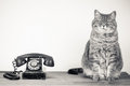 Cat and retro telephone portrait of sat next to with white background copy space Royalty Free Stock Images