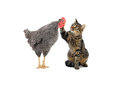 Cat and rooster irons a on a white background Stock Image