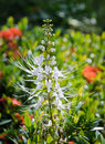 Cat's Whiskers flower Royalty Free Stock Photo