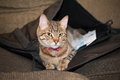 Cat in a satchel takes position and possession of work left lying on couch Stock Photography