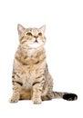 Cat Scottish Straight, sitting looking up Royalty Free Stock Photo