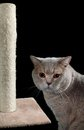 Cat Scratching Post Cutout Royalty Free Stock Photo