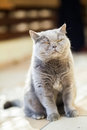 Cat screwing up its eyes sitting british Royalty Free Stock Photography