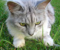 Cat- Silver Mackrel Tabby Siberian Royalty Free Stock Photo
