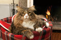 Cat sitting in front of fireplace maine coon the the Royalty Free Stock Images