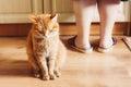 Cat sitting near female foots roja Foto de archivo libre de regalías