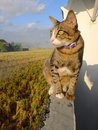 Cat sitting on wall a looking at a rice field Stock Image