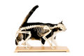 Cat skeleton living behind a isolated on white Royalty Free Stock Photos