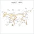 Cat skeleton veterinary vector illustration Royalty Free Stock Photo