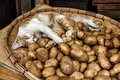 Cat sleeping in a basket of potatoes Royalty Free Stock Photo