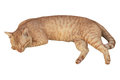 Cat sleeping crouch isolated white background. Royalty Free Stock Photo