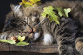 Cat Sleeping with Fall Leaves