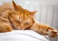 Cat sleeping ginger on the bed Royalty Free Stock Photo