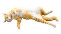 Cat sleeping thai isolate on white background Royalty Free Stock Photography