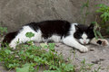 Cat sleeping tired black and white outdoor during the day Royalty Free Stock Images