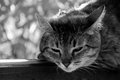 The cat is sleeping on the wooden beam a black white photo Stock Photo
